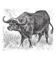 African buffalo vintage engraving vector image vector image