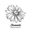 chamomile freehand black ink sketch vector image