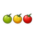 whole tomato engraved vector image vector image