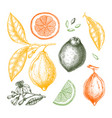 ink hand drawn citrus fruits - lemon branch vector image