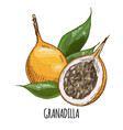 granadilla full color realistic hand drawn vector image vector image