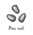 ink sketch of pine nut vector image vector image