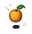 apricot drawing hand drawn isolated fruit vector image
