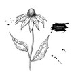 echinacea drawing isolated purpurea flower vector image vector image