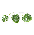 monstera green leaves isolated on white vector image