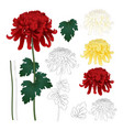 red white yellow chrysanthemum with outline vector image vector image