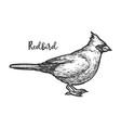 sketch songbird or hand drawn redbird vector image