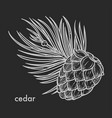 cedar cone with needle leaves hand drawn sketch vector image