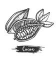 sketch cocoa fruit or cacao pod vector image vector image