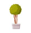evergreen indoor boxwood tree in white pot vector image