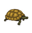 common greek tortoise cute turtle animals vector image