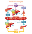 insulin and glucagon diagram vector image