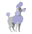 french poodle stand on white background vector image