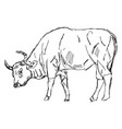 ox drawing on white background vector image vector image