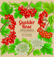 guelder rose frame on color background vector image