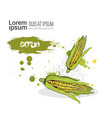corn hand drawn watercolor vegetable on white vector image vector image