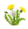 dandelion bush realistic isolated vector image