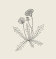 elegant outline drawing of dandelion plant with vector image vector image