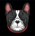 french bulldog head a wearing red collar vector image vector image