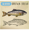 brown or finnock trout sketch fish and seafood vector image