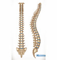 spine structure front and side view human vector image