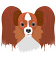 papillon dog isolated on white background vector image vector image