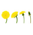 stages closing flower dandelion isolated vector image