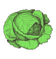 fresh cabbage hand drawn isolated icon vector image vector image