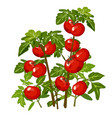 growth and ripening tomato plants isolated on vector image vector image