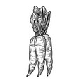 vegetable carrots fresh organic food hand drawn vector image vector image