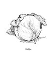 hand drawn of cabbage on a white background vector image vector image