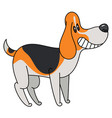 tricolor beagle dog isolated on white background vector image vector image