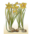 Color of daffodils with bulbs vector image