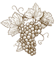 Grapes on the branch vector image