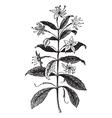 Agathosma vintage engraving vector image vector image