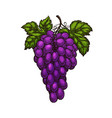 grape bunches and leaves isolated sketch vector image