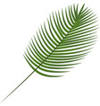 robilini date palm tropical leaves botanical vector image