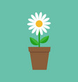 white daisy chamomile in pot cute flower plant vector image vector image