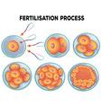 Diagram of fertilisation process vector image