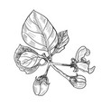 sketch twig sakura blossoms vector image