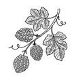 hop branch on white background design element vector image vector image