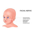 schematic anatomy of the facial nerve vector image