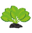 green bush of the plant with greater sheet vector image vector image