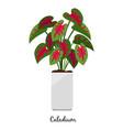 caladium plant in pot icon vector image vector image