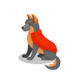german shepherd pedigree dog in red cape cute vector image
