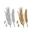 ear of wheat barley and grain malt