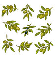 green and black olives branches olive oil design vector image vector image