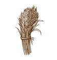 ears of wheat hand drawn gluten food ingredient vector image