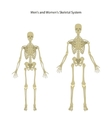 Male and female skeleton Front view vector image