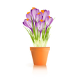 Pot Crocuses white vector image